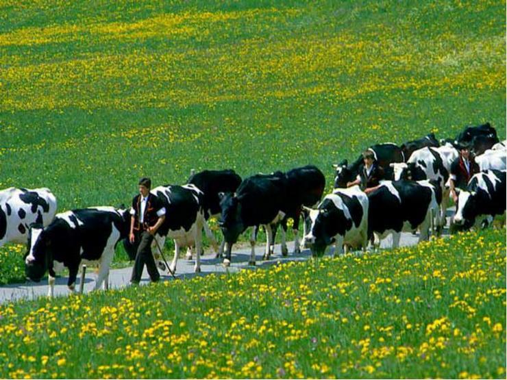 6 пастух