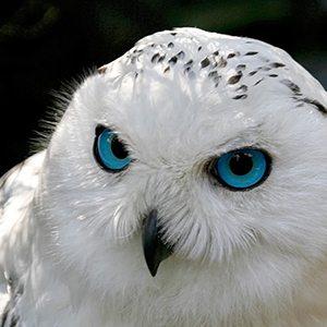 383973-snowy-owl